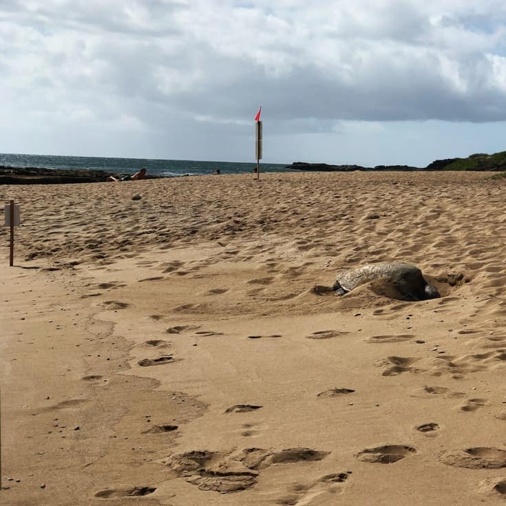 sea turtle laying eggs on Salt Pond Beach