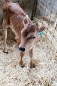 calf at tillamook dairy farm