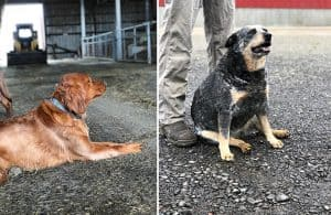 Tillamook farm dogs