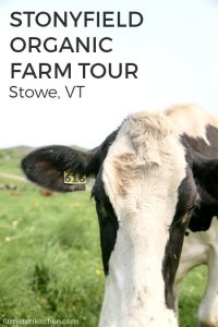 holstein cow in vermont